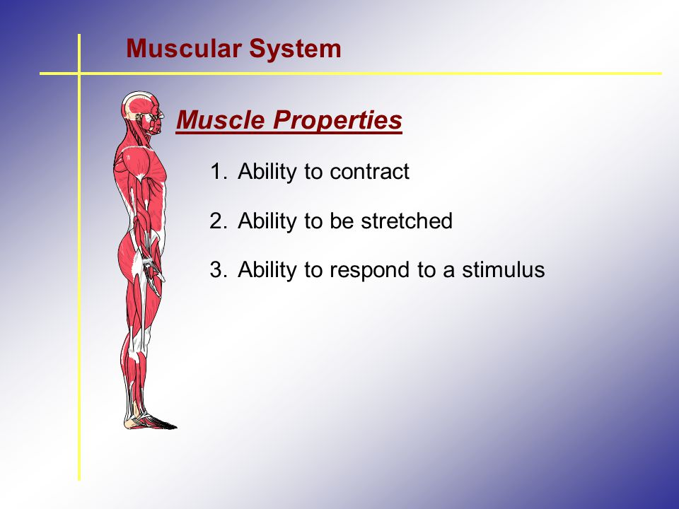 Muscular System Muscle Properties Ability to contract