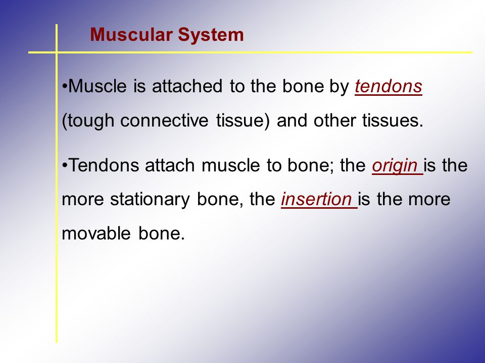 Muscular System Muscle is attached to the bone by tendons (tough connective tissue) and other tissues.
