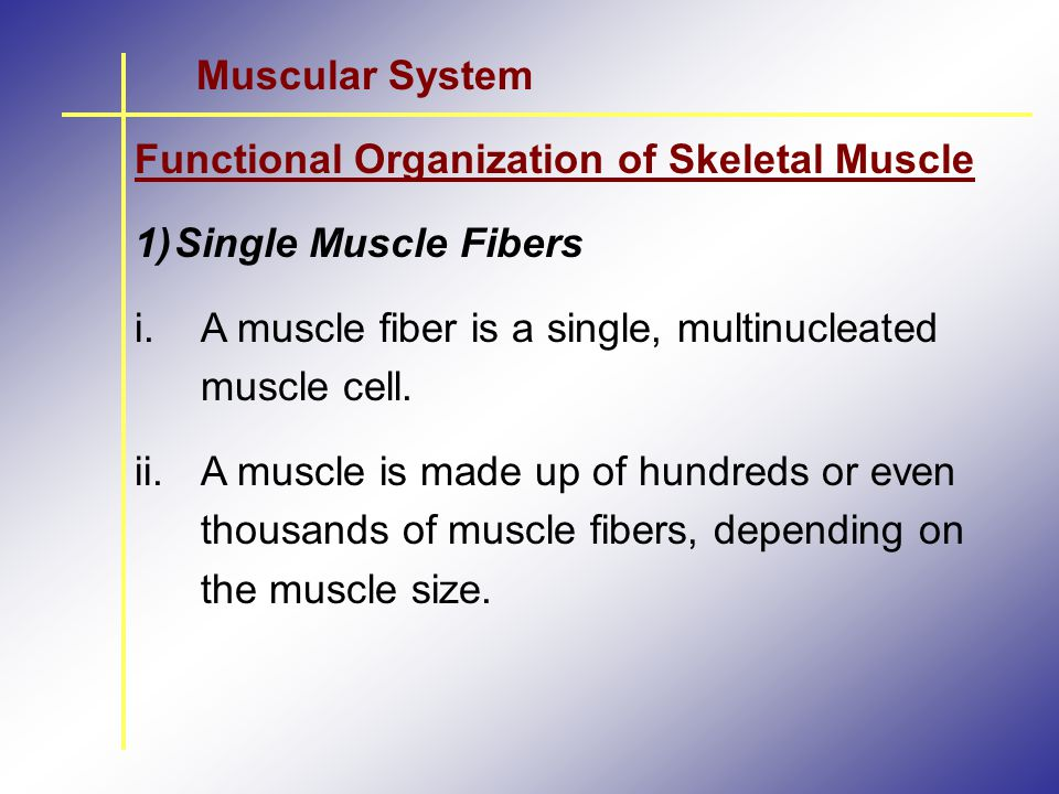 Muscular System Functional Organization of Skeletal Muscle. Single Muscle Fibers. A muscle fiber is a single, multinucleated muscle cell.