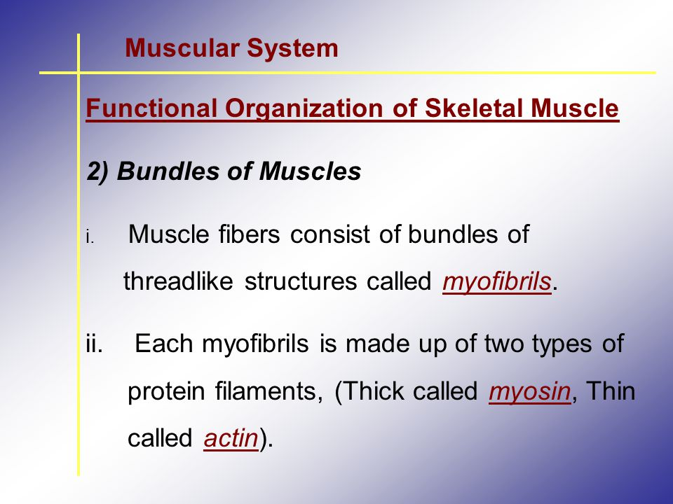 Functional Organization of Skeletal Muscle 2) Bundles of Muscles