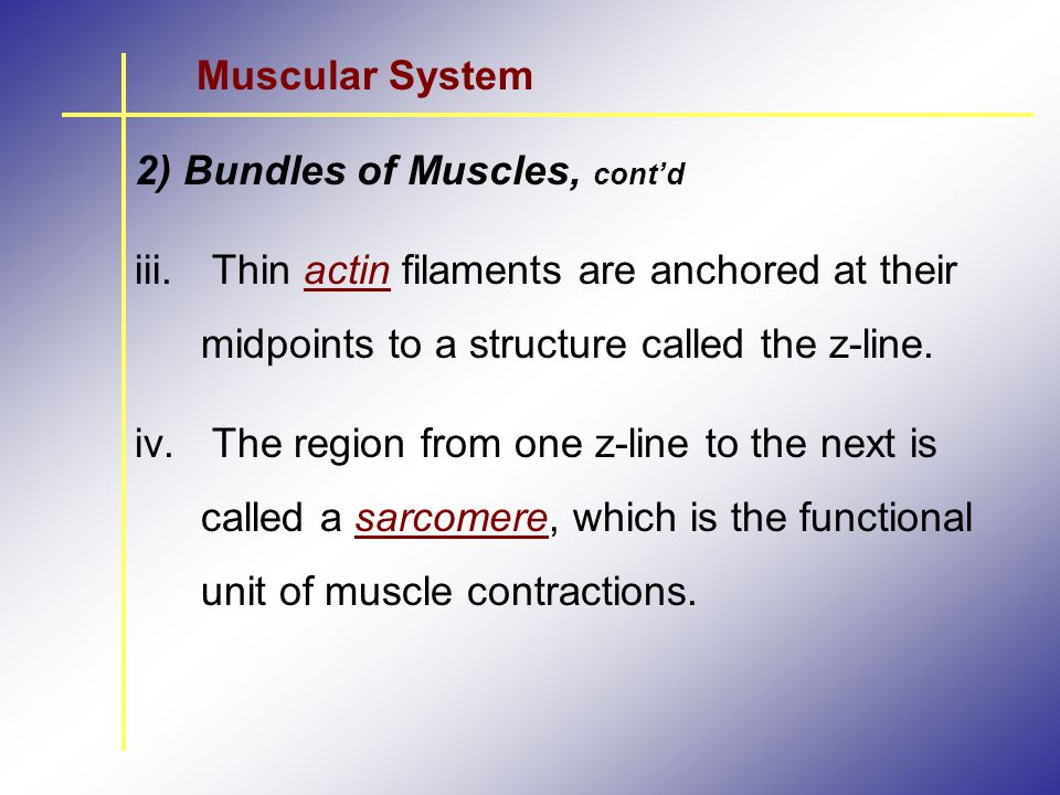 Muscular System 2) Bundles of Muscles, cont'd. Thin actin filaments are anchored at their midpoints to a structure called the z-line.