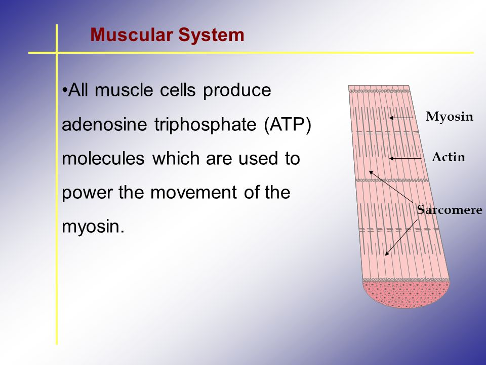 Muscular System All muscle cells produce adenosine triphosphate (ATP) molecules which are used to power the movement of the myosin.