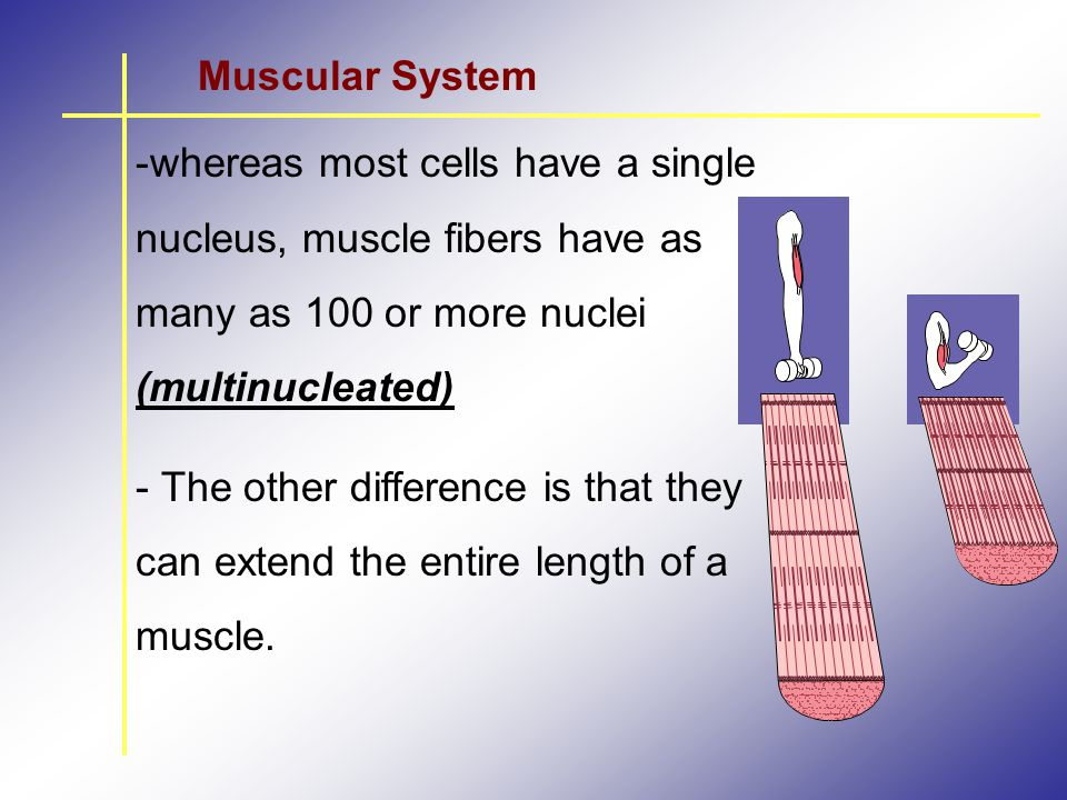 Muscular System whereas most cells have a single nucleus, muscle fibers have as many as 100 or more nuclei (multinucleated)