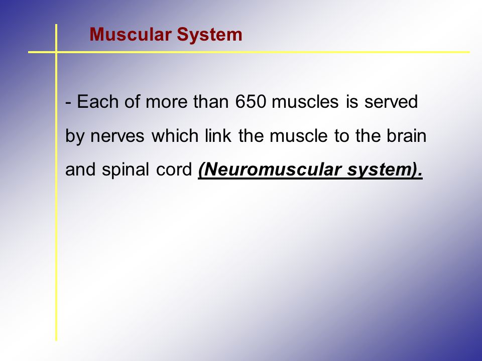 Muscular System - Each of more than 650 muscles is served by nerves which link the muscle to the brain and spinal cord (Neuromuscular system).