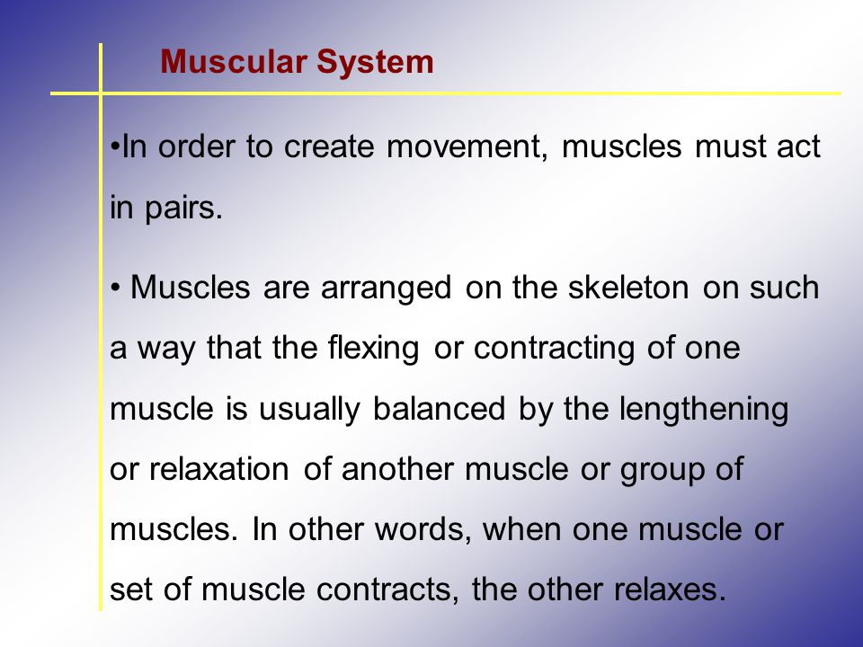 Muscular System In order to create movement, muscles must act in pairs.