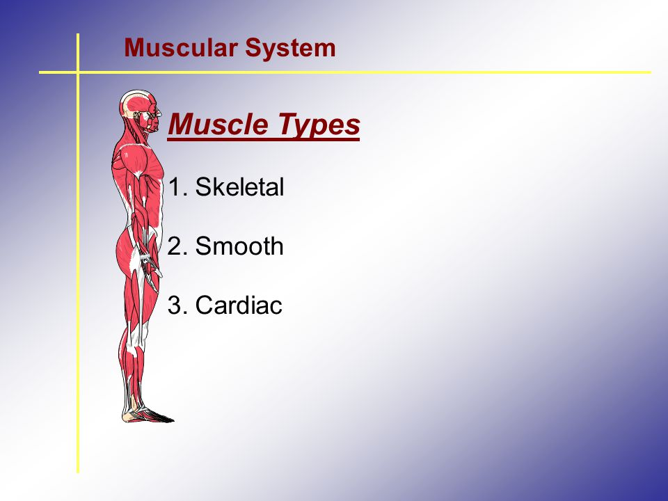 Muscular System Muscle Types Skeletal Smooth Cardiac