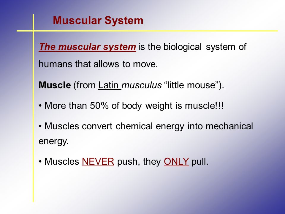 Muscular System The muscular system is the biological system of humans that allows to move. Muscle (from Latin musculus little mouse ).