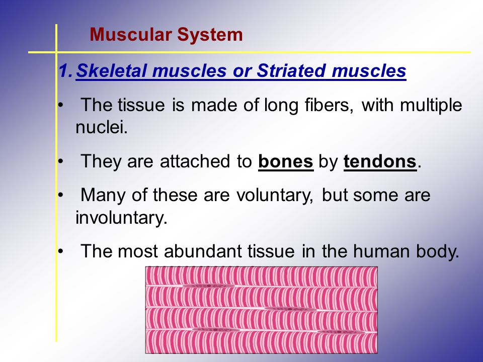 Muscular System Skeletal muscles or Striated muscles. The tissue is made of long fibers, with multiple nuclei.