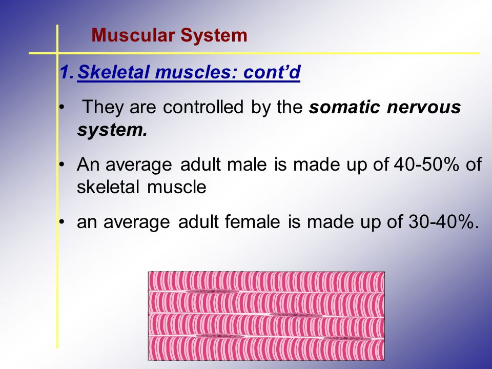 Muscular System Skeletal muscles: cont'd. They are controlled by the somatic nervous system.
