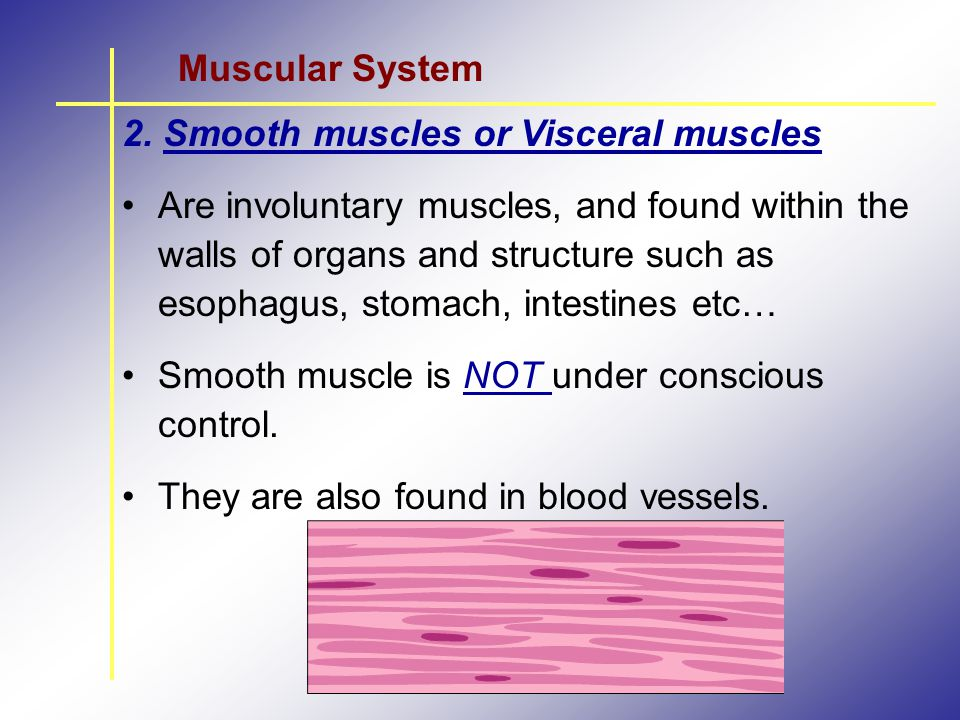 Muscular System 2. Smooth muscles or Visceral muscles.