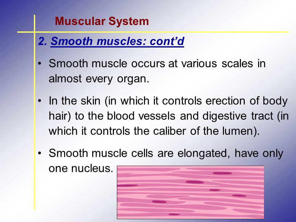 Muscular System 2. Smooth muscles: cont'd. Smooth muscle occurs at various scales in almost every organ.