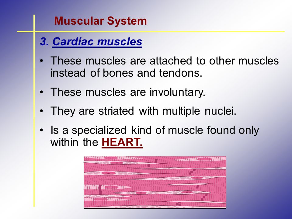 Muscular System 3. Cardiac muscles. These muscles are attached to other muscles instead of bones and tendons.