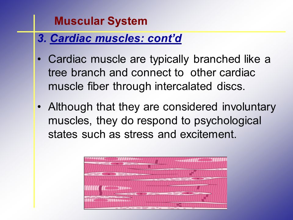 Muscular System 3. Cardiac muscles: cont'd.