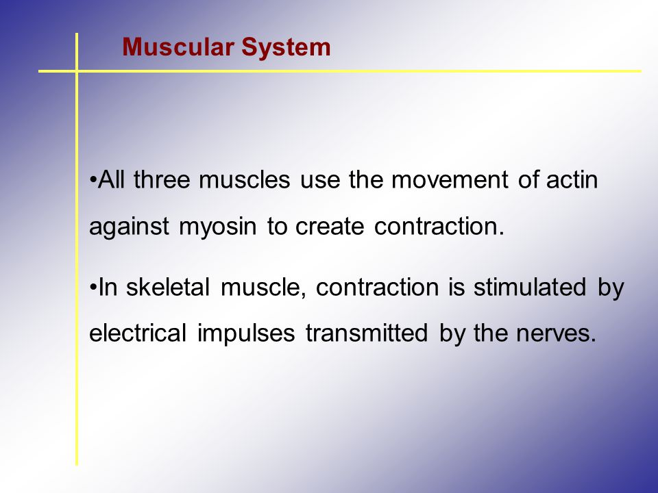 Muscular System All three muscles use the movement of actin against myosin to create contraction.
