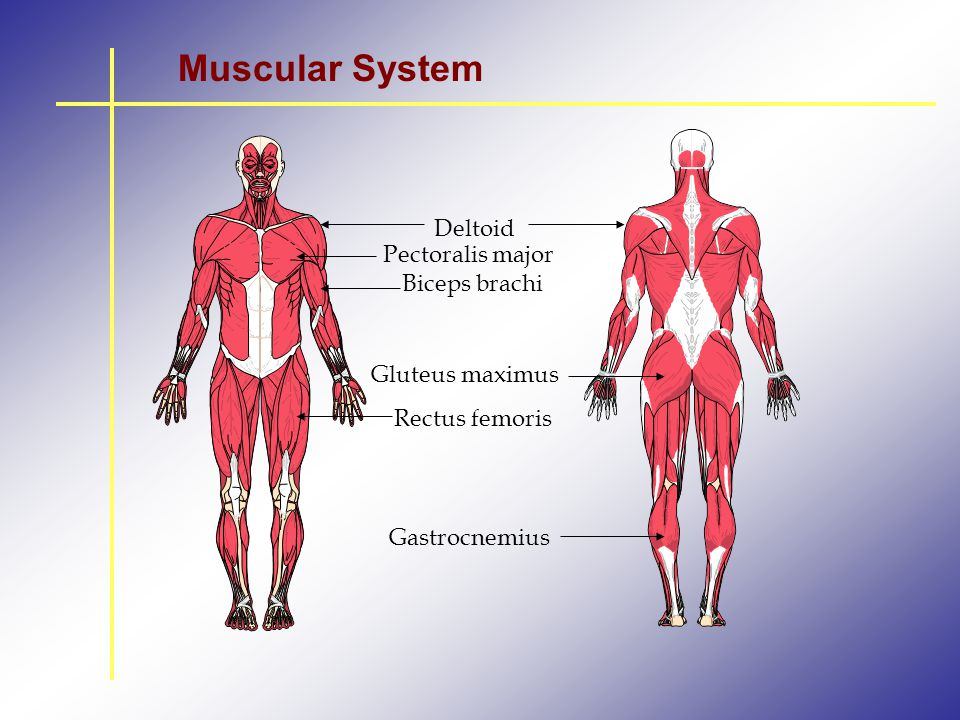 Muscular System Deltoid Pectoralis major Biceps brachi Gluteus maximus
