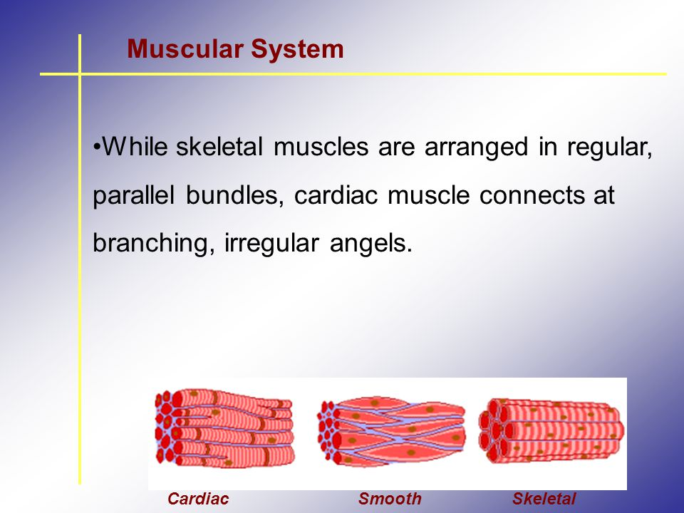 Muscular System While skeletal muscles are arranged in regular, parallel bundles, cardiac muscle connects at branching, irregular angels.
