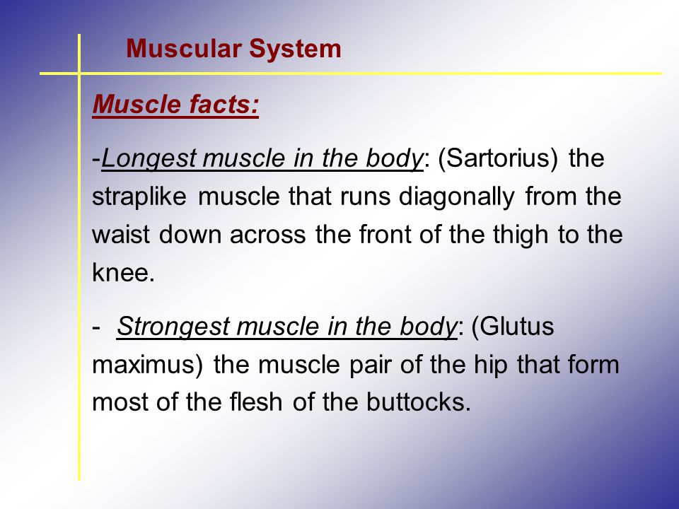 Muscular System Muscle facts: