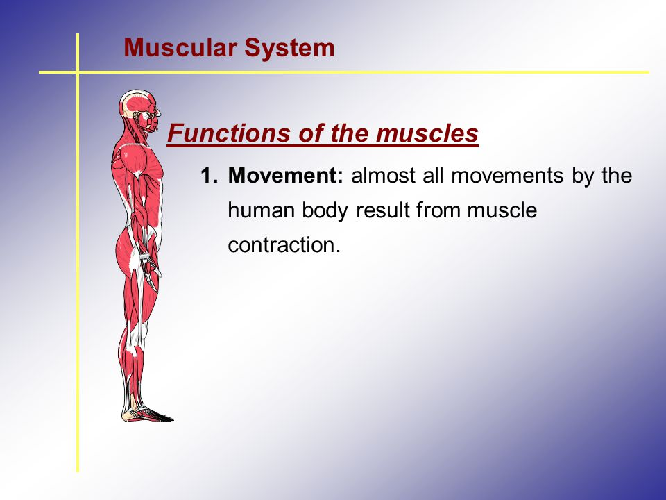 Functions of the muscles