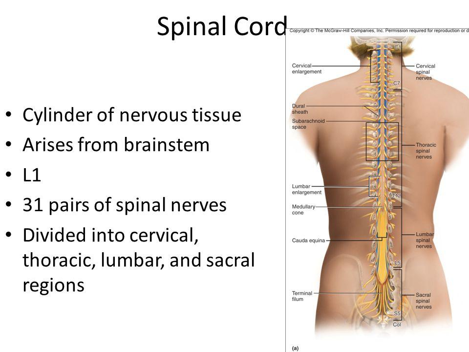 Schön Spinal Cord Anatomy And Physiology Bilder - Menschliche ...