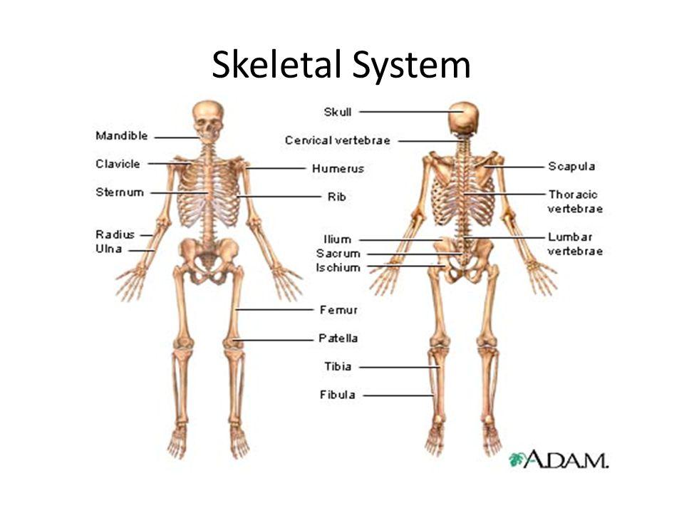 Nett Skelettorgansystem Fotos - Menschliche Anatomie Bilder ...