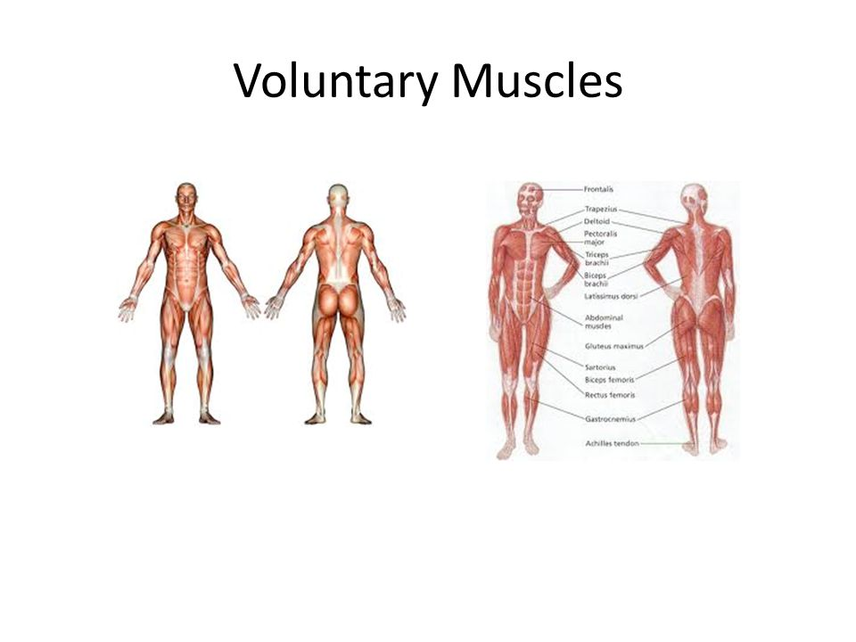 Voluntary Muscles
