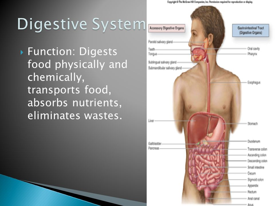 Digestive System Function: Digests food physically and chemically, transports food, absorbs nutrients, eliminates wastes.