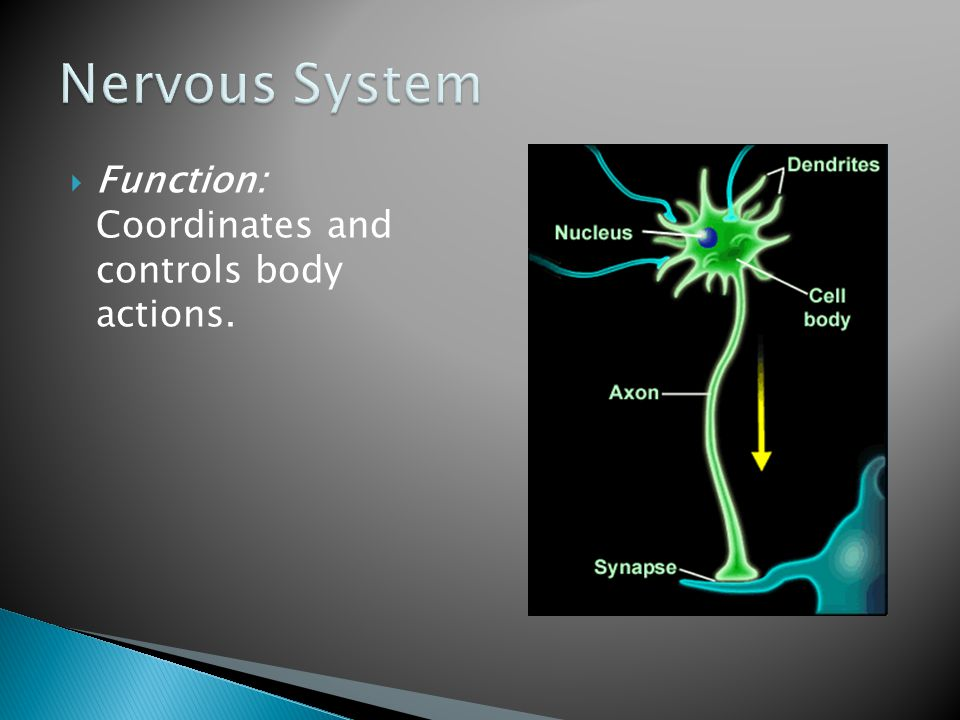 Nervous System Function: Coordinates and controls body actions.