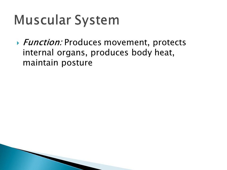 Muscular System Function: Produces movement, protects internal organs, produces body heat, maintain posture.