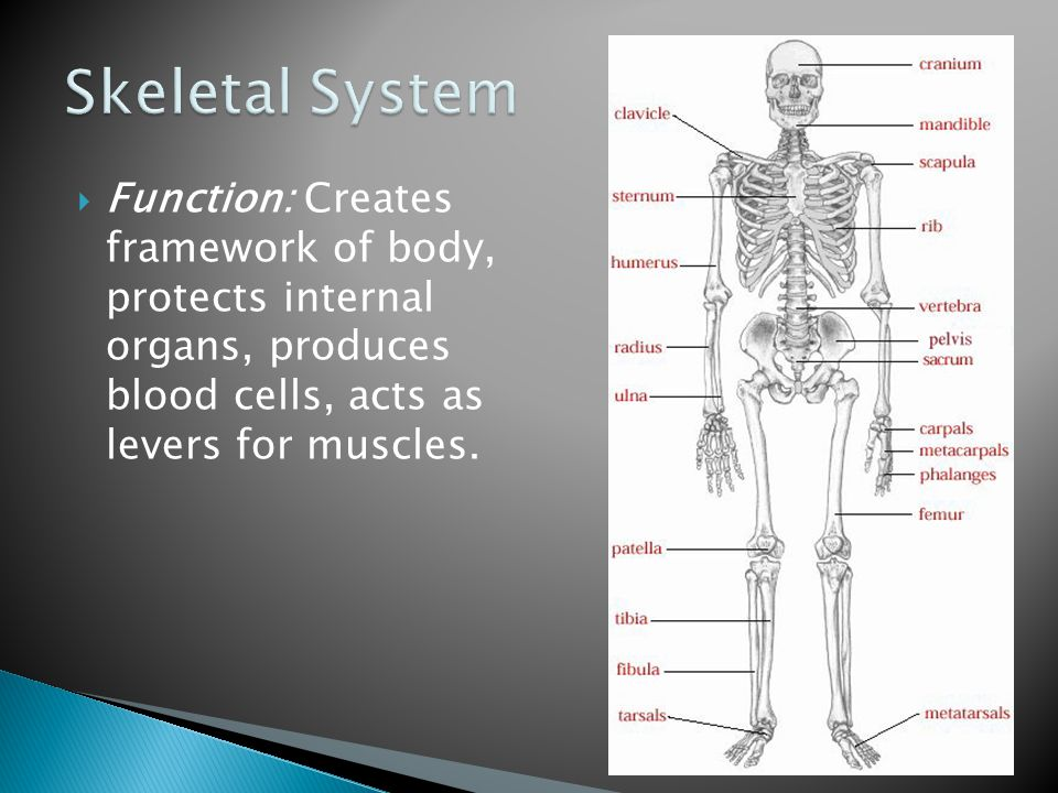 Skeletal System Function: Creates framework of body, protects internal organs, produces blood cells, acts as levers for muscles.