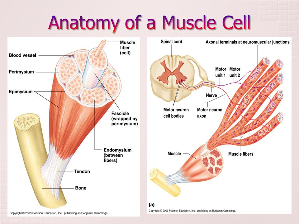 Anatomy Of Muscle Cell Image collections - human body anatomy
