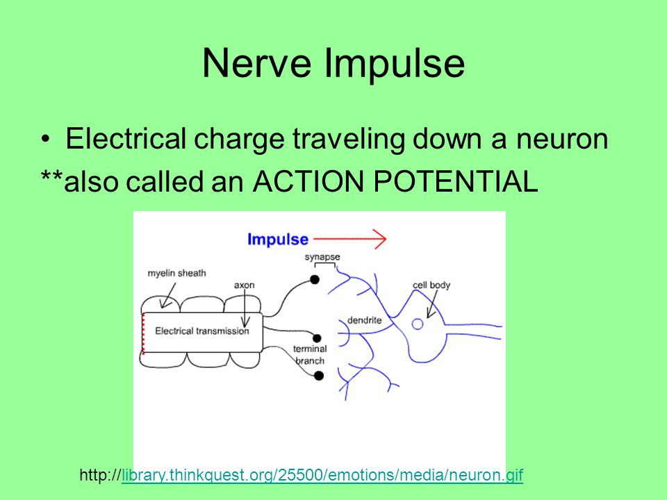 Nerve Impulse Electrical charge traveling down a neuron