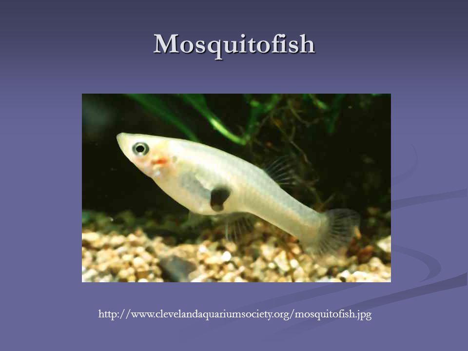 Plasmodium falciparum ppt download for Mosquito fish facts