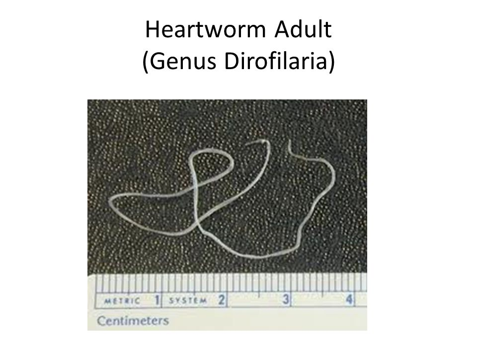 Parasite Identification - ppt download Heartworm Adult