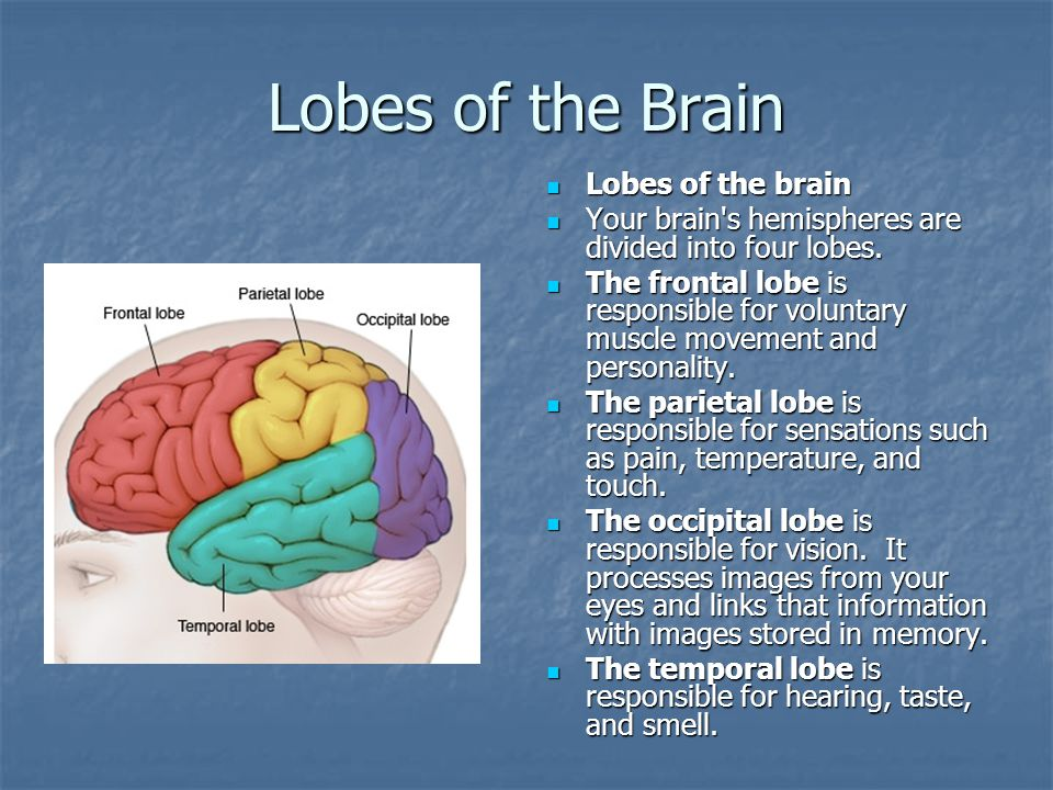 Lobes of the Brain Lobes of the brain