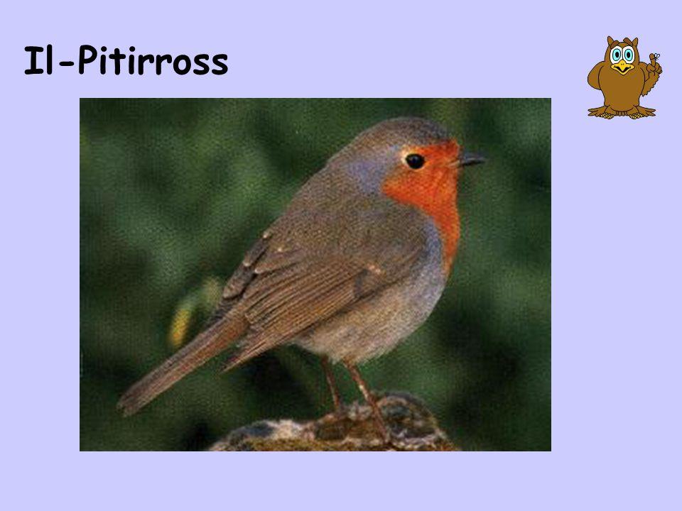 Il-Pitirross