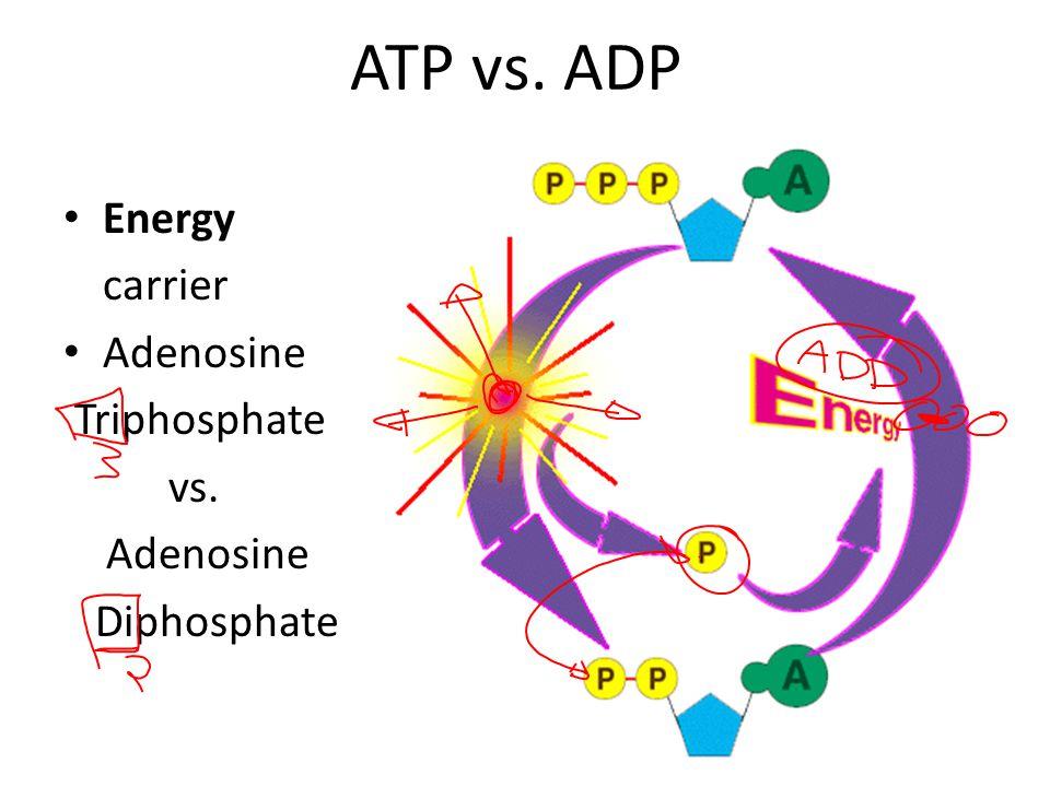 ATP vs. ADP Energy carrier Adenosine Triphosphate vs. Diphosphate
