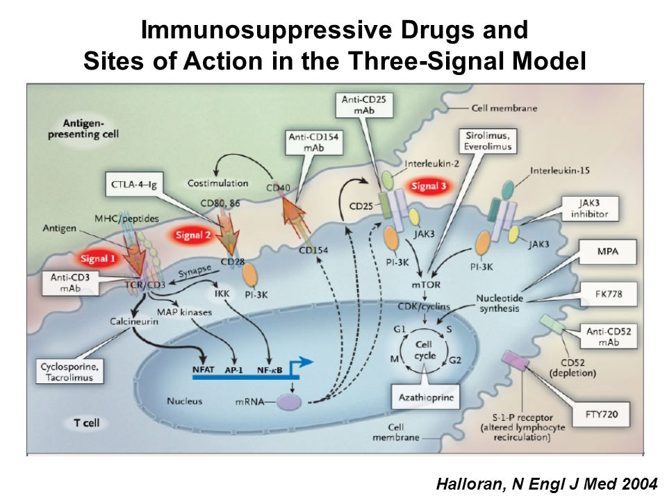 Immunosuppressive Drugs and Sites of Action in the Three-Signal Model