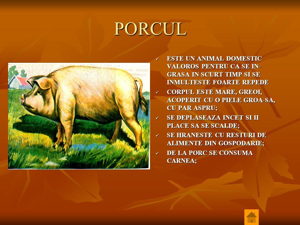PORCUL ESTE UN ANIMAL DOMESTIC VALOROS PENTRU CA SE IN-GRASA IN SCURT TIMP SI SE INMULTESTE FOARTE REPEDE.