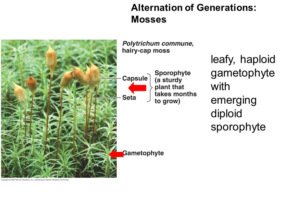 leafy, haploid gametophyte with emerging diploid sporophyte
