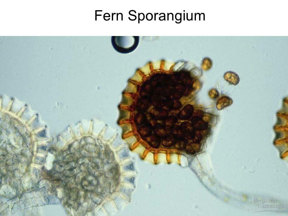 Moss & Fern Sphagnum palustre Hapu'u Tree Fern - ppt video ... Fern Sporangia