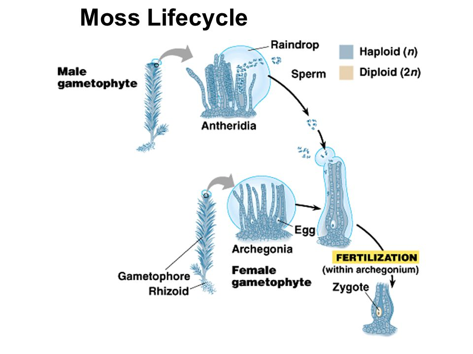 Moss Lifecycle
