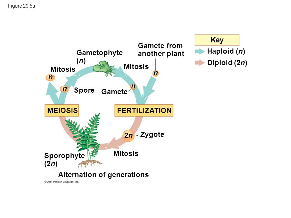 1 m Key Gamete from another plant Haploid (n) Gametophyte (n)