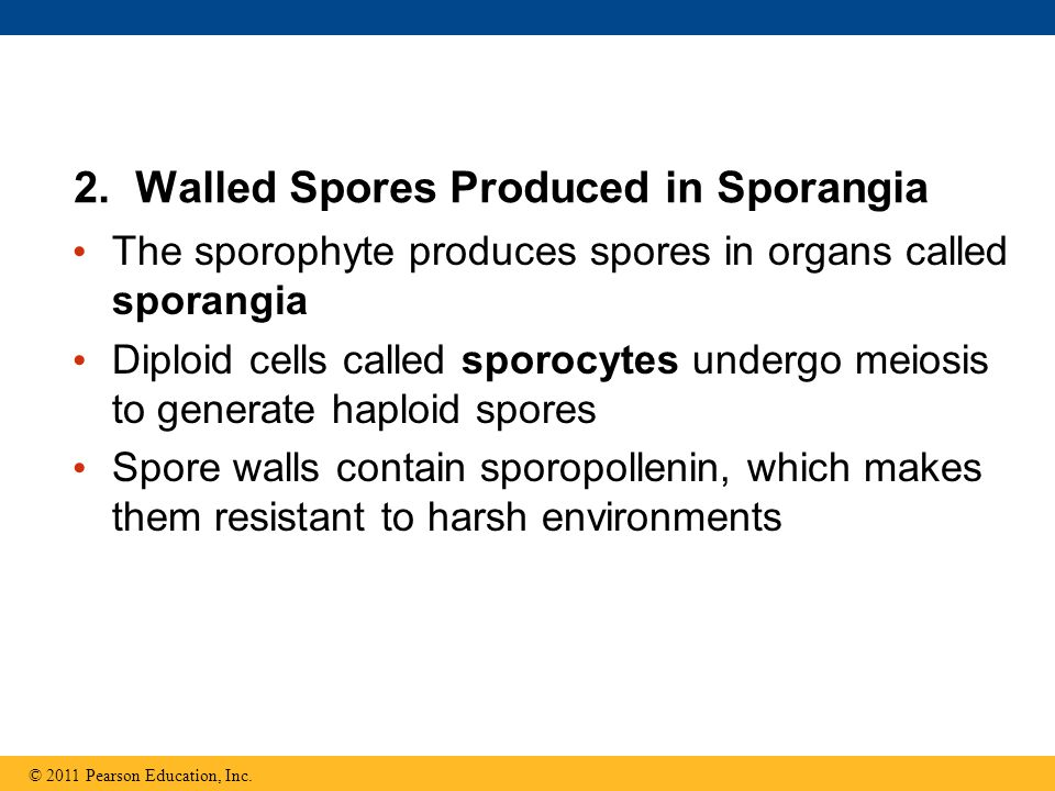 2. Walled Spores Produced in Sporangia