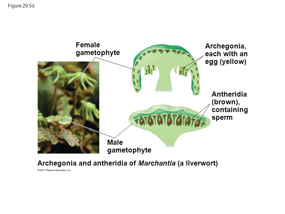 1 m Female gametophyte Archegonia, each with an egg (yellow)