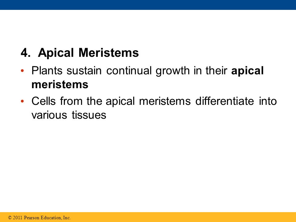 4. Apical Meristems Plants sustain continual growth in their apical meristems. Cells from the apical meristems differentiate into various tissues.