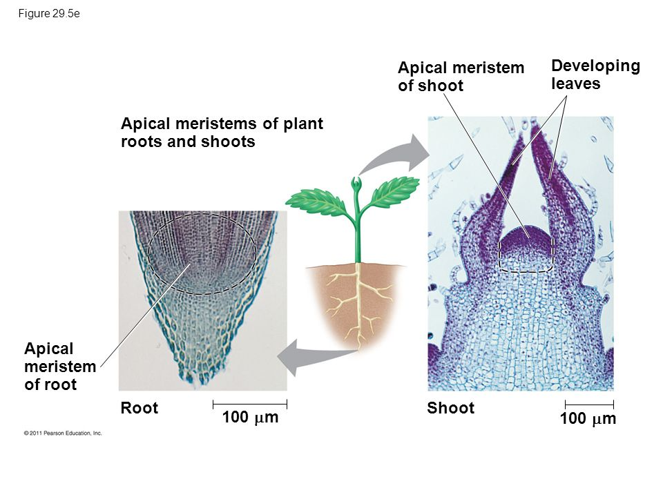 1 m Apical meristem of shoot Developing leaves