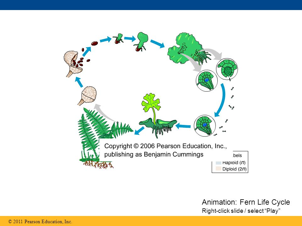 Animation: Fern Life Cycle Right-click slide / select Play