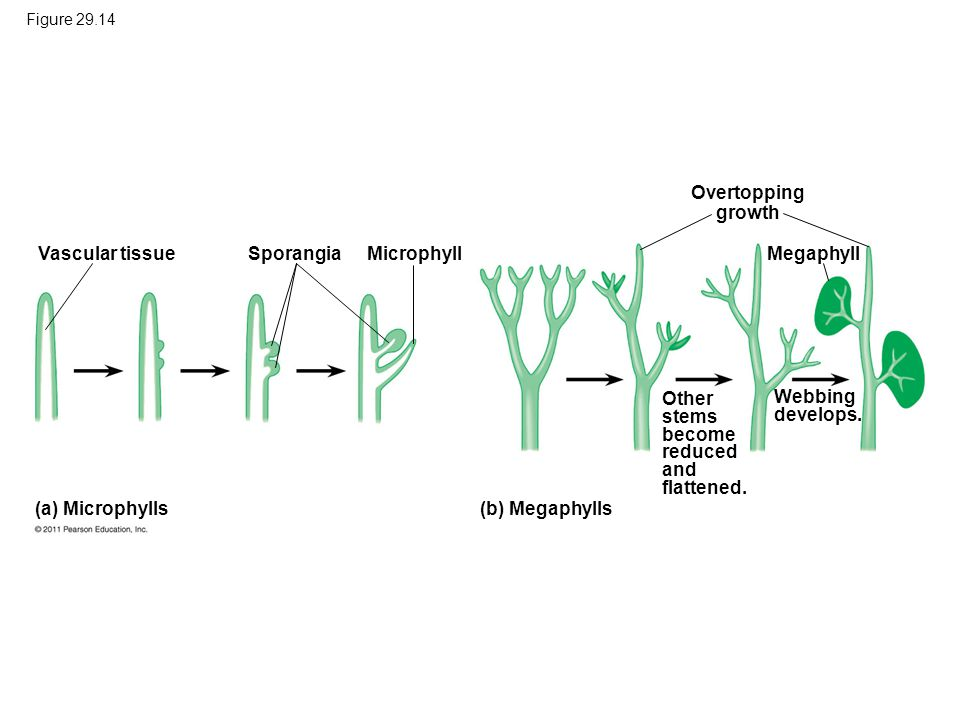1 m Overtopping growth Vascular tissue Sporangia Microphyll Megaphyll