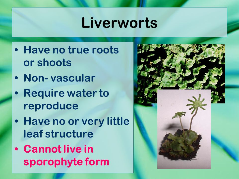 Liverworts Have no true roots or shoots Non- vascular