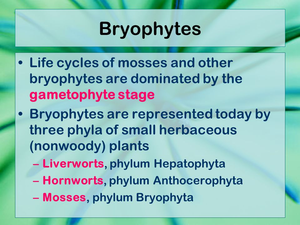 Bryophytes Life cycles of mosses and other bryophytes are dominated by the gametophyte stage.